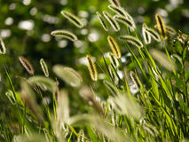 Foxtail grass Stock Photo