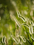 Foxtail grass Royalty Free Stock Images