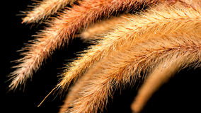 Foxtail Grass on black background Stock Images