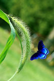 Foxtail grass and Butterfly. Foxtail grass covered with rain drop and blue butterfly Royalty Free Stock Photography