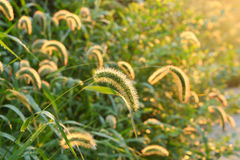 Foxtail grass Royalty Free Stock Photos