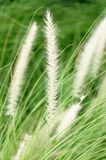 Foxtail grass closeup Stock Photos