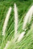 Foxtail grass closeup Stock Photos