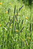 Foxtail grass Royalty Free Stock Photo