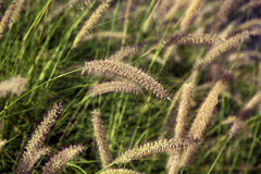 Field of Foxtail Grass Stock Photo
