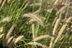 Field of Foxtail Grass Stock Photography