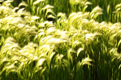 Foxtail Grass Stock Image