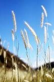 Foxtail grass macro Royalty Free Stock Image