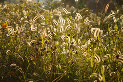 Foxtail grass Stock Images