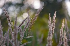 Foxtail grass Royalty Free Stock Photography