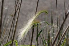 Foxtail grass shimmering in the sunlight Stock Image