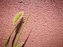 Foxtail grass standing before the red wall Stock Photos