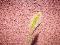 Foxtail grass standing before the red wall Royalty Free Stock Images
