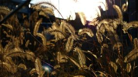 Foxtail Grass in the Sunset Light Royalty Free Stock Photo