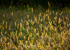 Foxtail grass in sunset light Stock Photos