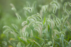 Foxtail grass under the sunshine Stock Photography