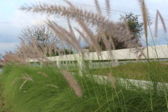 Foxtail grasses beside fence Royalty Free Stock Photography