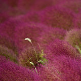 Foxtail in Kochia Stock Photo