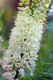Foxtail lily flower. Close up royalty free stock photo
