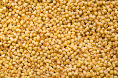 Foxtail millet Stock Image