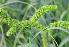 Foxtail Millet Royalty Free Stock Photography