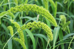 Foxtail Millet Royalty Free Stock Photos