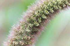Foxtail millet head Setaria italica. Detail of a foxtail millet head Setaria italica stock image