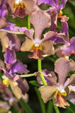Foxtail Orchid Stock Photography