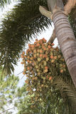 Foxtail Palm bearing fruits Stock Images