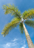 Foxtail Palm on blue sky Royalty Free Stock Photo