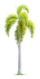 Foxtail palm tree Royalty Free Stock Images