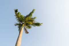 Foxtail palm tree in the wind with blue sky. Background stock photography