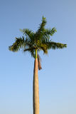 Foxtail palm tree in the wind with blue sky. Background Royalty Free Stock Image