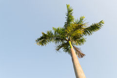 Foxtail palm tree in the wind with blue sky Stock Photos