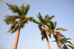 Foxtail palm trees in the wind with blue sky Stock Photography