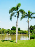 Foxtail palms. Or palm squirrel in a city park Royalty Free Stock Photos