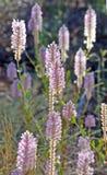 Foxtail régio dos nobilis roxos nativos australianos de Ptilotus Foto de Stock Royalty Free