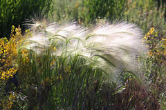 Foxtail Stock Photography