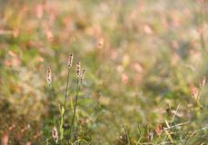 Foxtail in the sunset royalty free stock photo