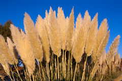 Foxtail Type Plants Royalty Free Stock Photos