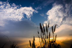 Foxtail weed in the evening Stock Image