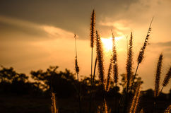 Foxtail weed in the evening Stock Photos