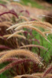 Foxtail weed grass flowers, Nature blurred background Stock Photos
