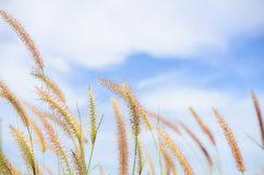 Foxtail weed in the nature Stock Images