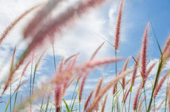 Foxtail weed in the nature Stock Image