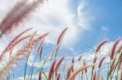 Foxtail weed in the nature Stock Photo