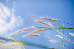 Foxtail weed in the nature Royalty Free Stock Photos