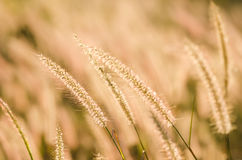 Foxtail weed in the nature Stock Photography