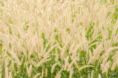 Foxtail weed in the nature Royalty Free Stock Image