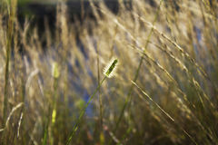 Foxtail Weed Plant. Focus of a single foxtail weed plant among other plants in the field royalty free stock photos